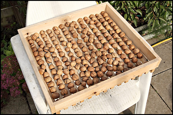 Picture of walnuts drying in sun