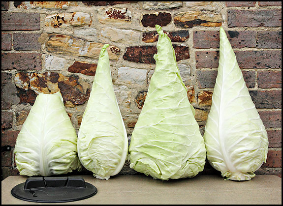 picture of four Filderkraut cabbages