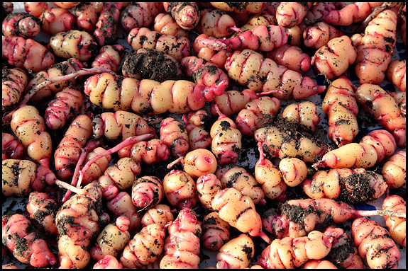 Picture of oca tubers